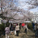 お花見 鶴岡八幡宮